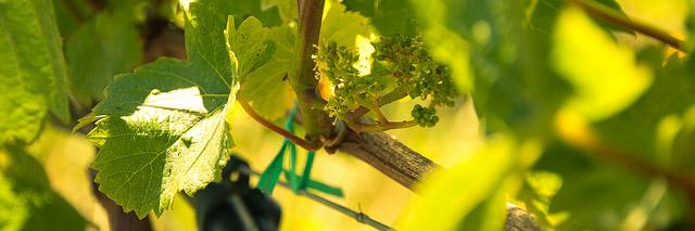 vignes-selection-vinoble-mars-limoges