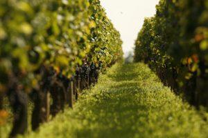 vigne-range-vert