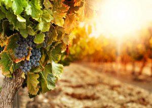 vignes-saint-florin