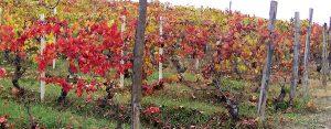 vignes-cascina-barisel