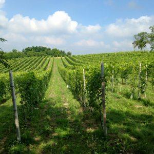 vigne-crotin