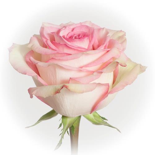 rose-esperance